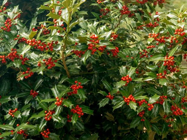 Holly shrubs