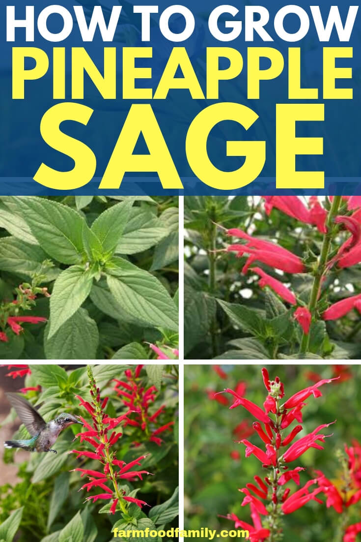 Pineapple Sage: How to grow and care for Pineapple Sage in a Country Herb garden