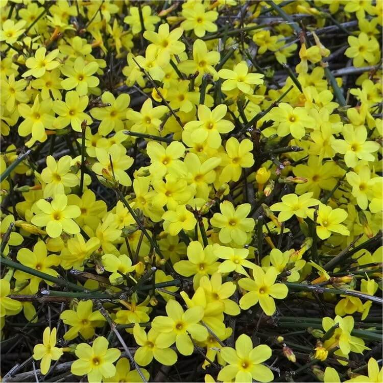 Jasminum nudiflorum | Flowering Plants to Brighten the Winter Garden: Trees, Shrubs and Perennials with Blooms to Sparkle in Short Days
