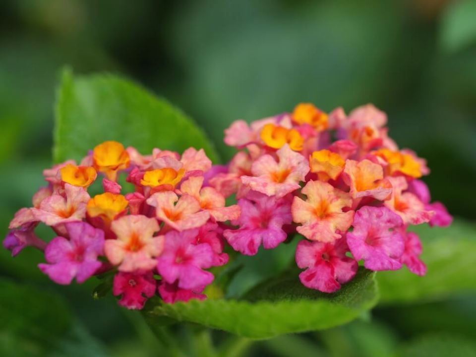 Lantana   Try Fragrant Perennial Verbenas for Attracting Bees and Butterflies