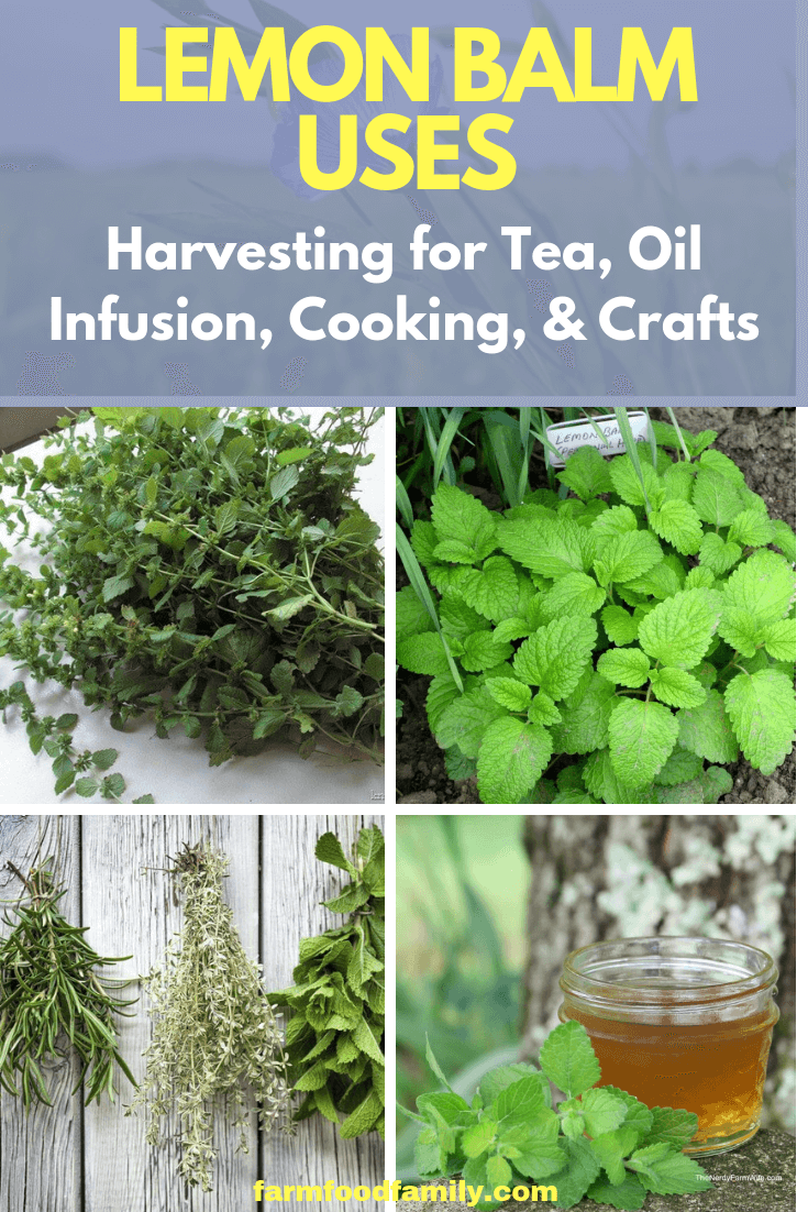 Lemon Balm Uses: Harvesting for Tea, Oil Infusion, Cooking, and Crafts