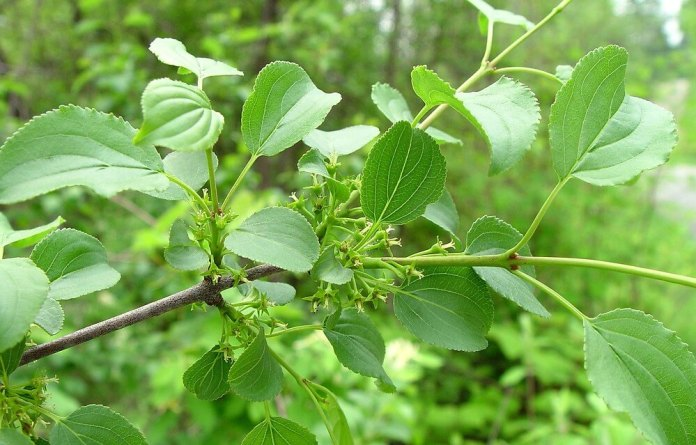 Common buckthorn (Rhamnus cathartica) | Top 10 Exotic Invasive Trees in the U.S - FarmFoodFamily.com