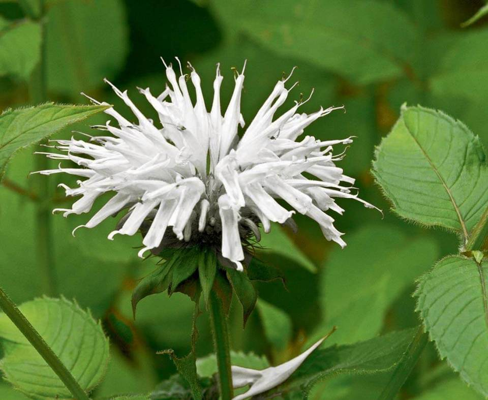 Snow White | Monarda Plant Profile Growing Guide: Planting, Selecting, and Maintaining Bee Balm