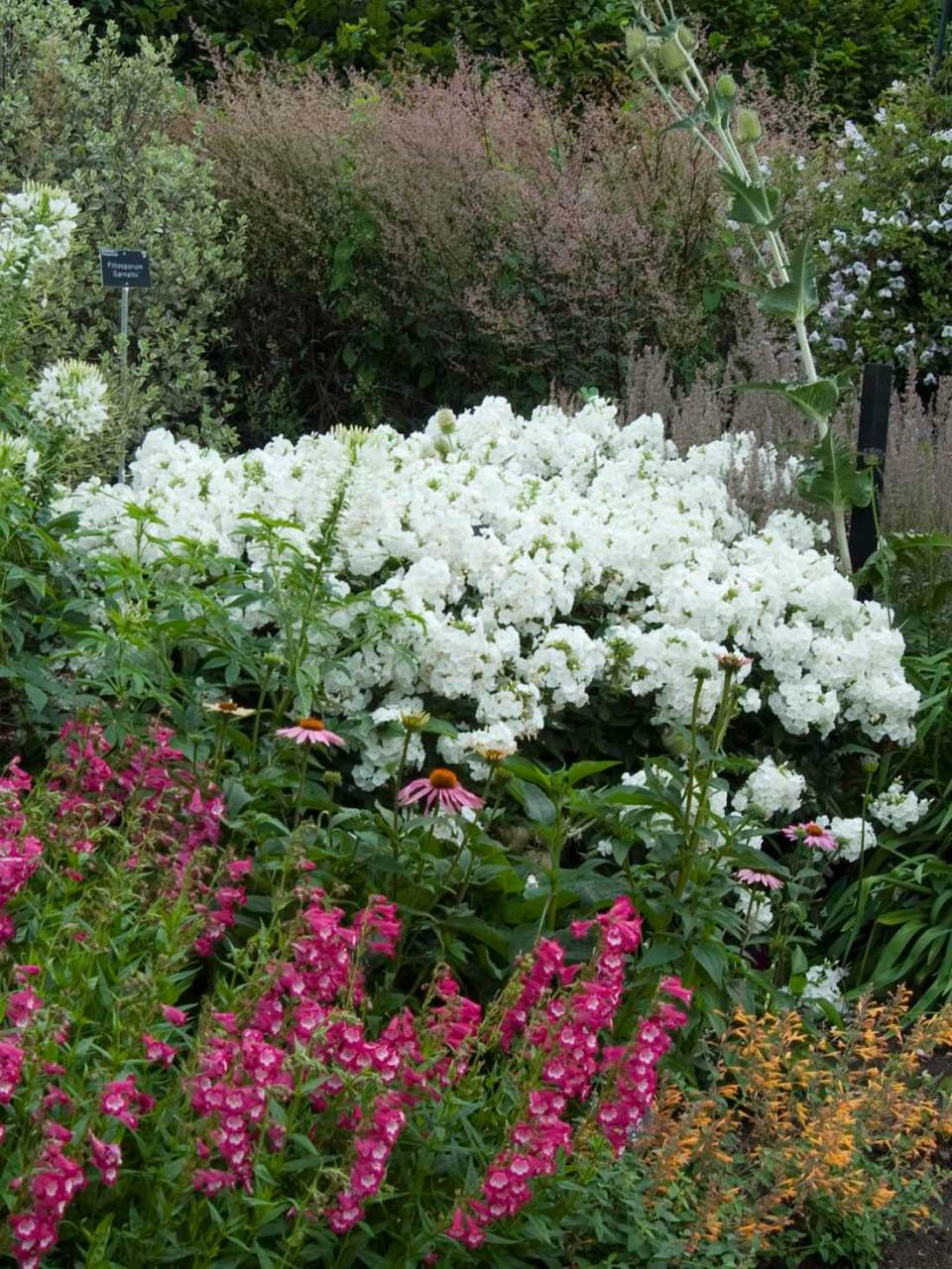 tall border phlox (Phlox paniculata) | Perennial Flowers All Season: Perennial Garden Design Guide for Blooms in Spring Summer and Fall