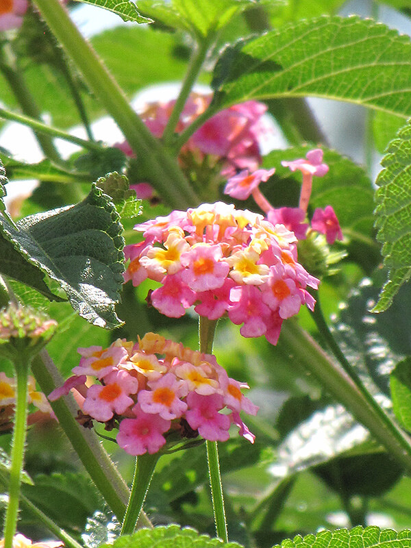 Tropical Fruit | Drought Tolerant Plants Attracting Pollinators: Try Xeriscape Gardening and Attract Bees Butterflies Hummingbirds