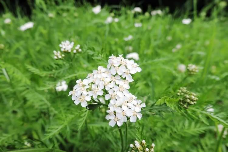 Yarrow (Achillea) | Perennial Flowers All Season: Perennial Garden Design Guide for Blooms in Spring Summer and Fall