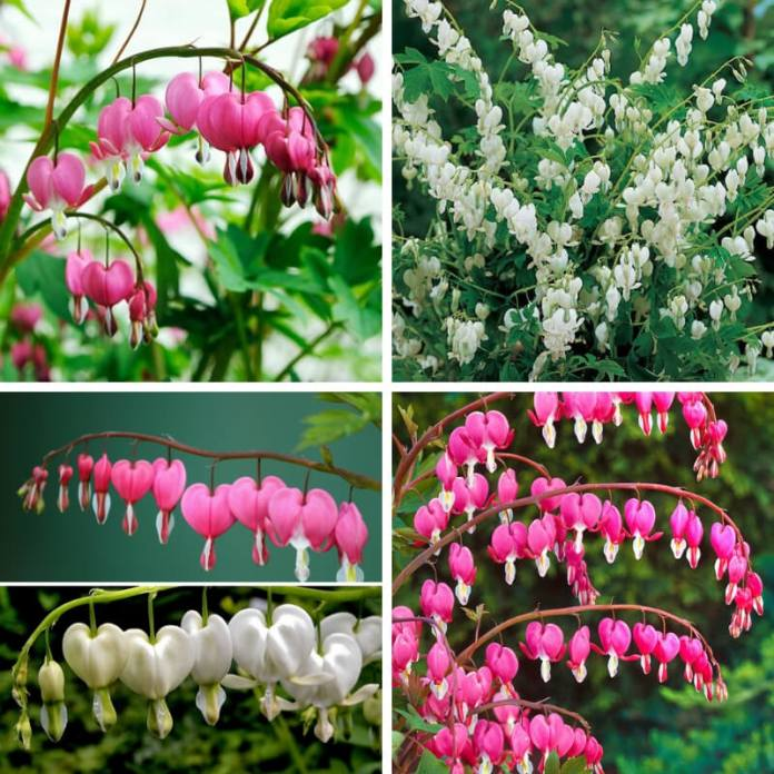 The Bleeding Heart plant