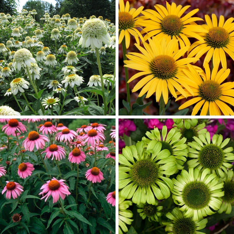 Midsummer Dwarf Perennial Flowers: Echinacea Green Jewel, Mac N' Cheese,Meringue