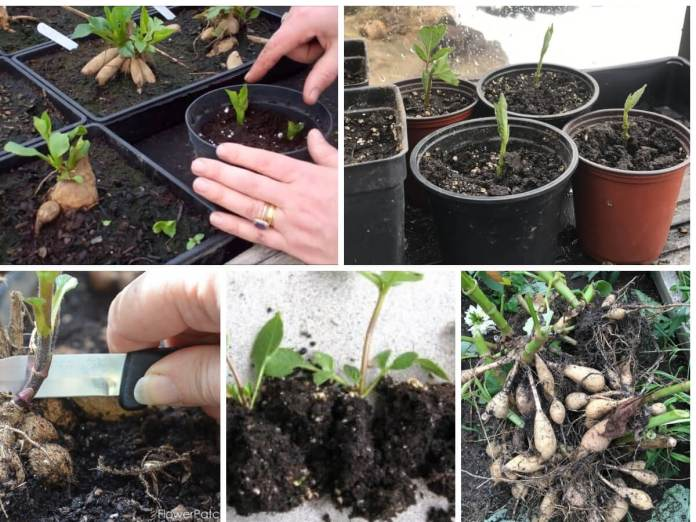 Propagate Dahlias from the Cuttings