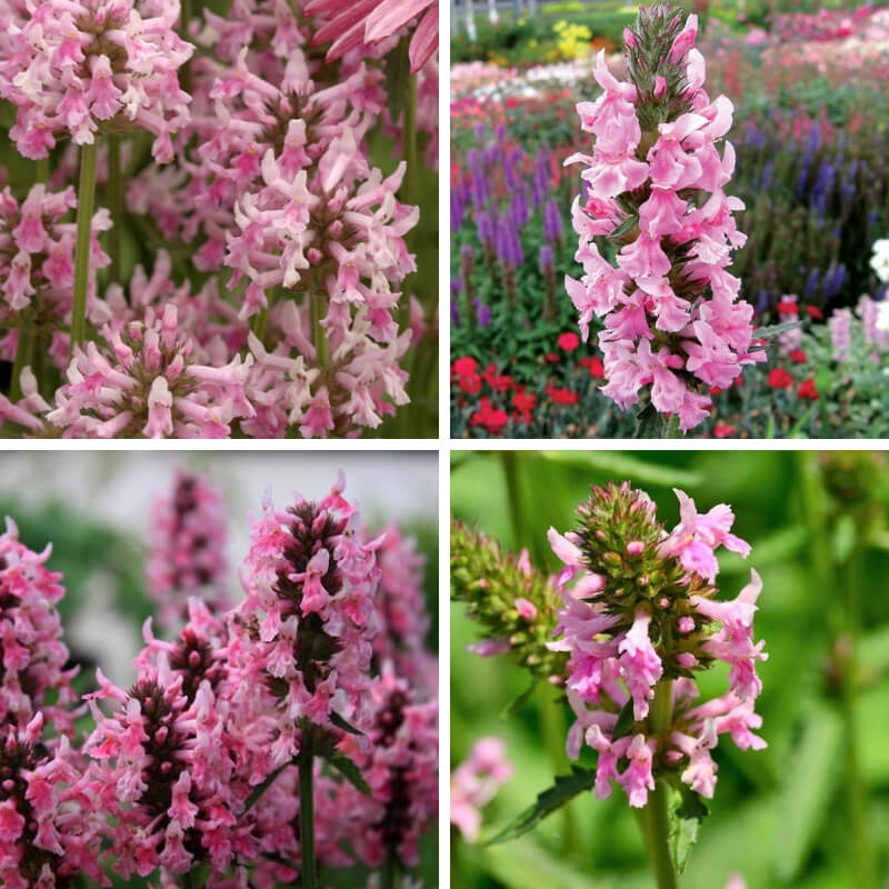 Stachys officinalis Pink Cotton Candy