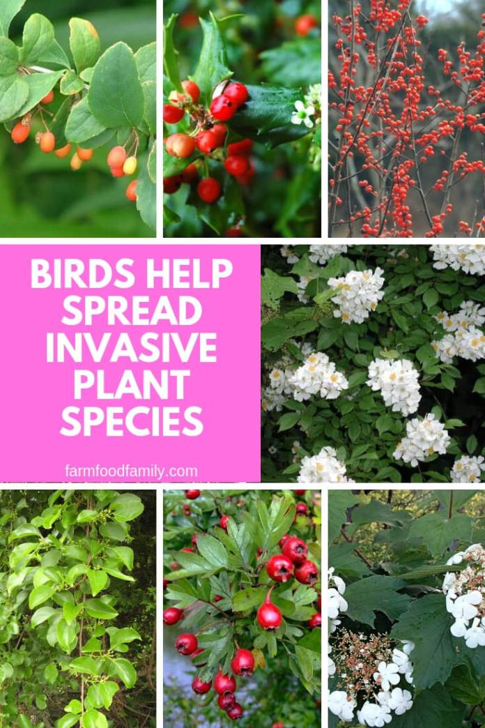 Birds Help Spread Invasive Plant Species