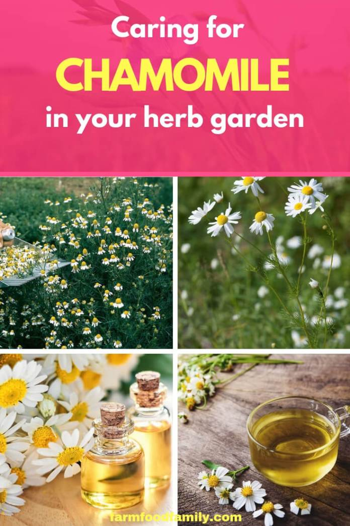 Caring for Chamomile plants
