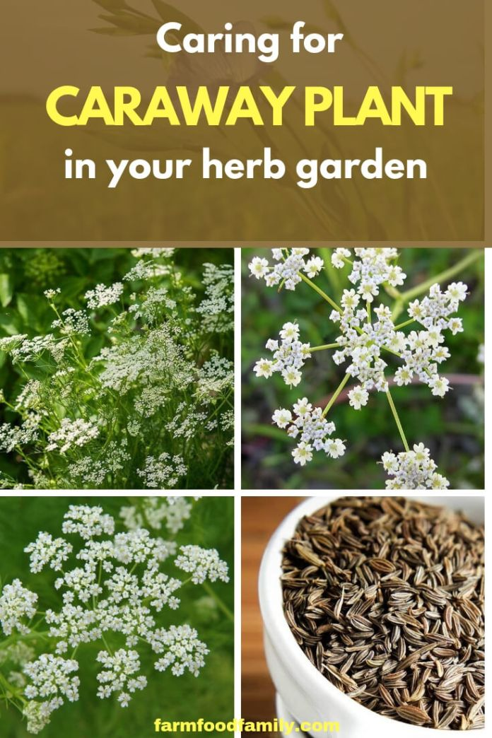 Caring for Caraway herb plants