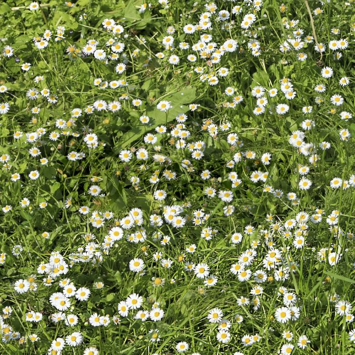 The Chamomile Lawn