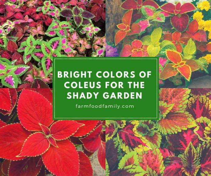 Bright Colors of Coleus for the Shady Garden