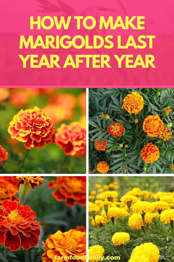 How to Make Marigolds Last Year after Year