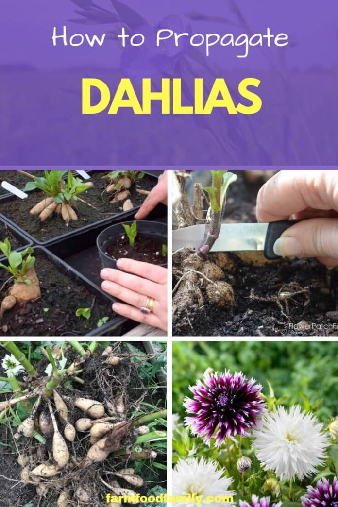 How to Propagate Dahlias