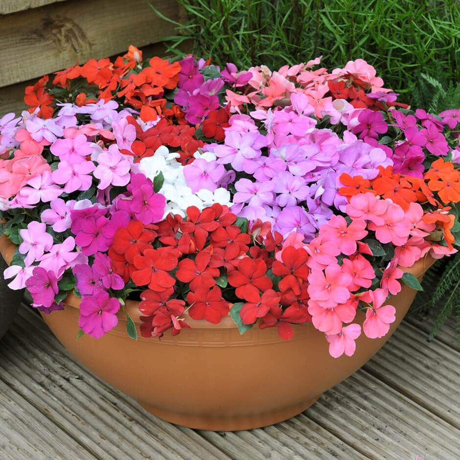 Impatiensfor Long-Lasting Blooms in Shade