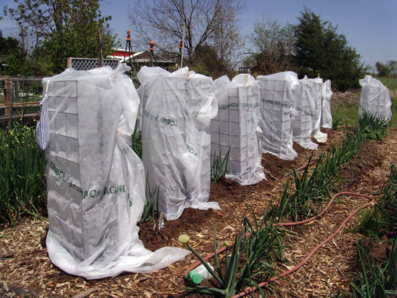 Covering Plants During Cold Snaps