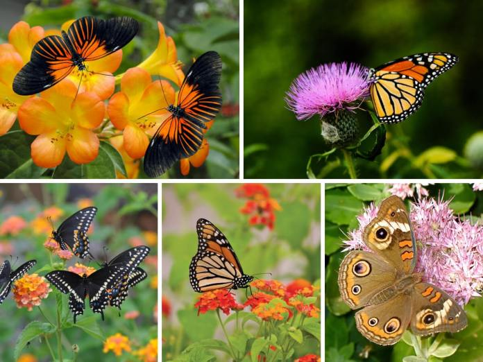 Butterfly Gardens Attract a Variety of Butterflies