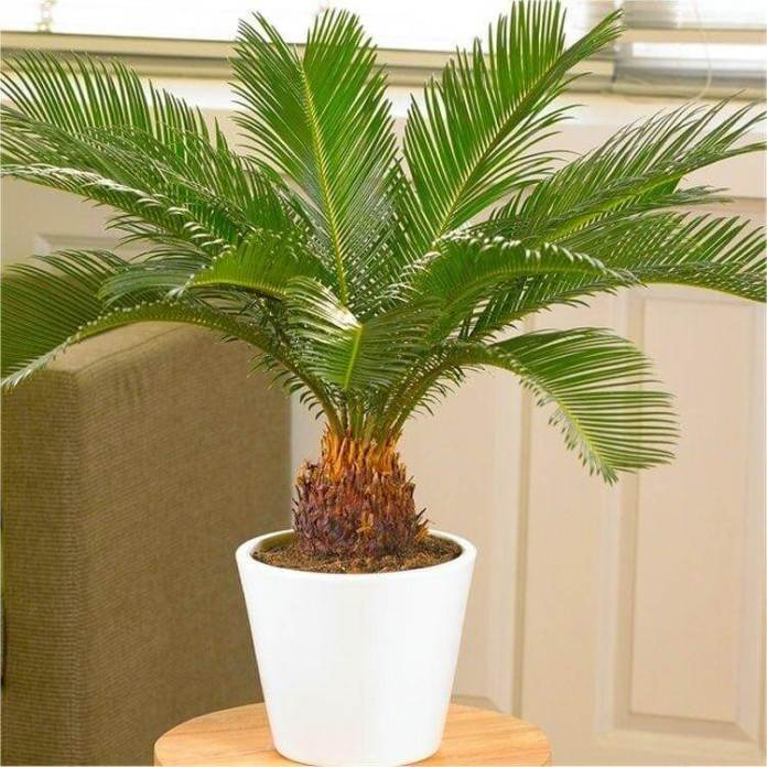 Poisonous Cycad Palm Plants and Pets