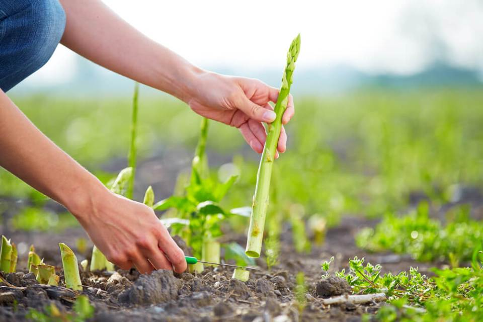 Harvesting and Caring for Asparagus Beds