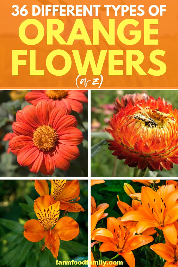 36 Different Types of Orange Flowers with images (A-Z)