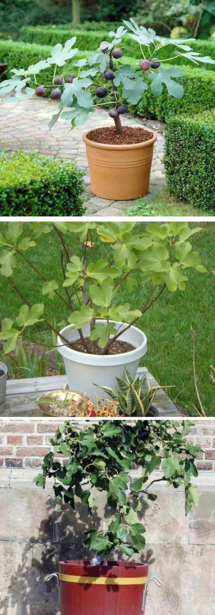 How to grow fig trees in containers