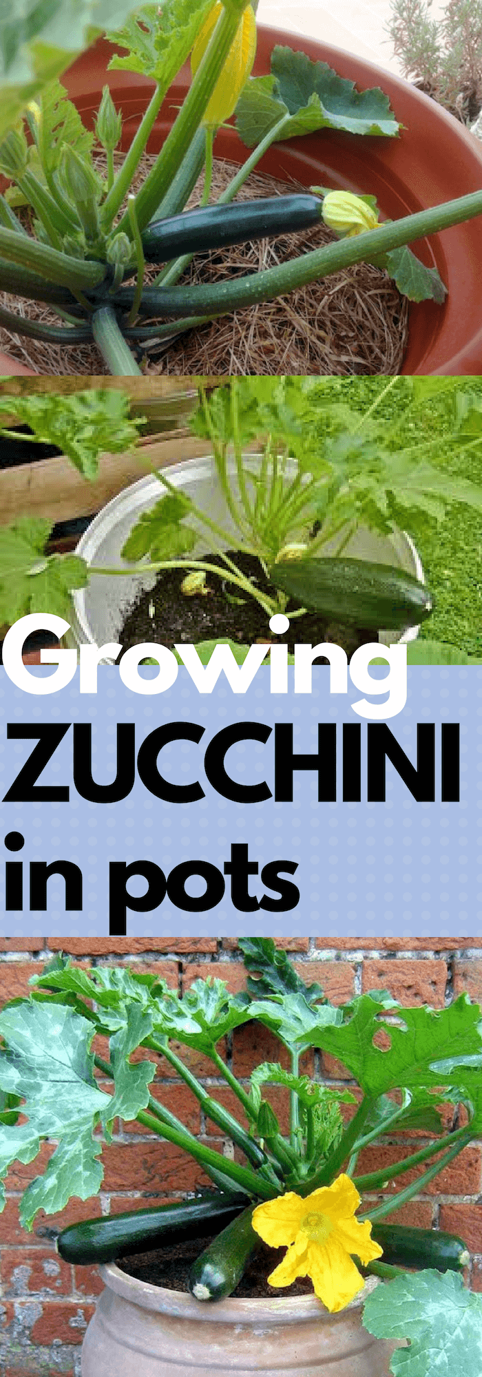 How to grow Zucchini or squashes in pots