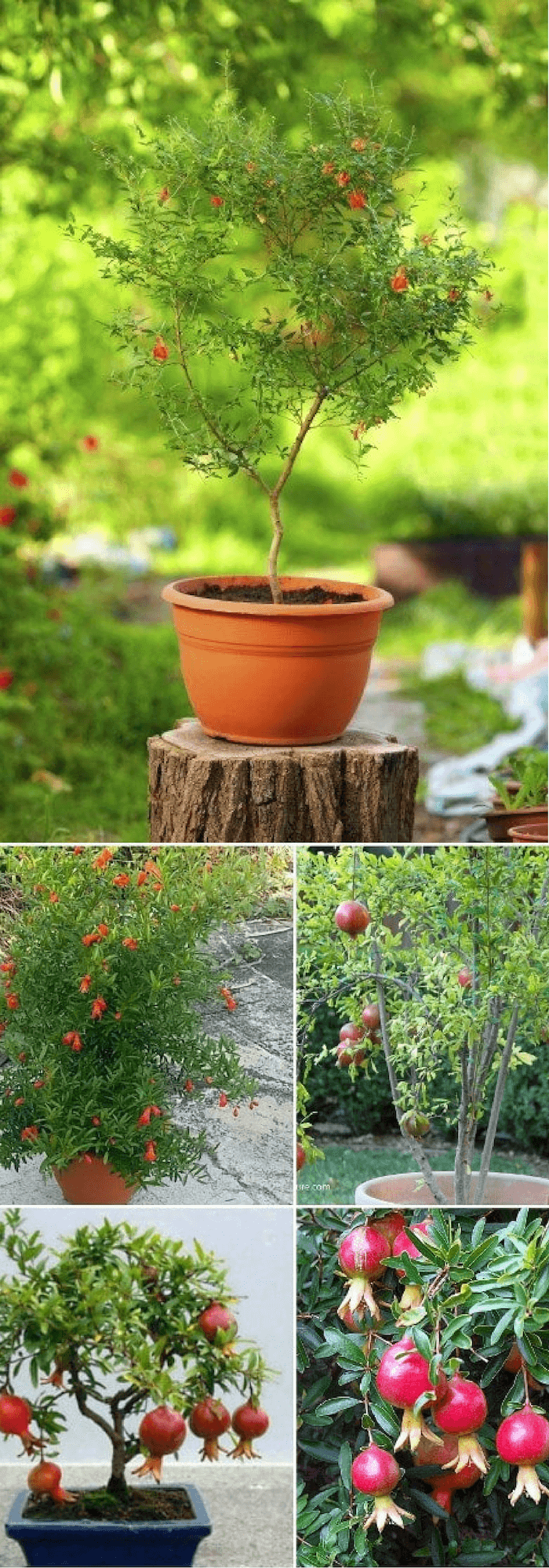 Growing Pomegranate tree in pots