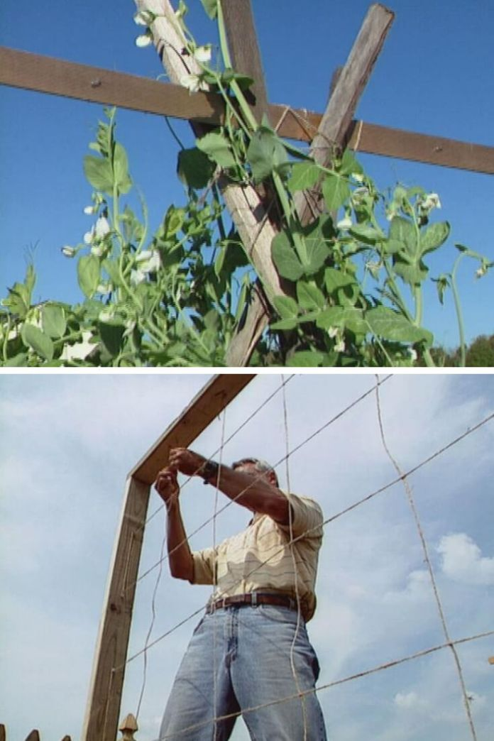 Recycled Pea Trellis from Twine