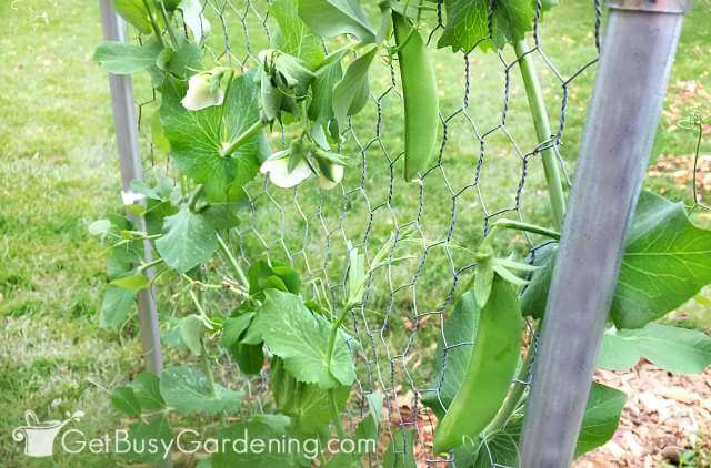 Pea Trellis with Chicken Wire