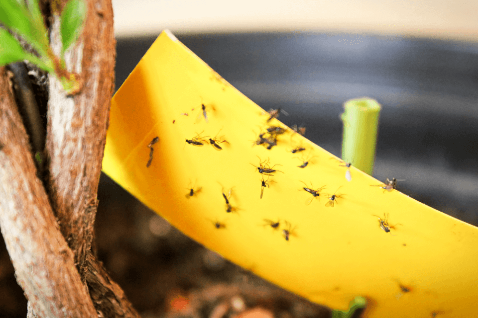 fungus gnats being stuck to yellow stick