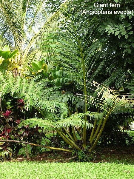 Giant fern (Angiopteris evecta)