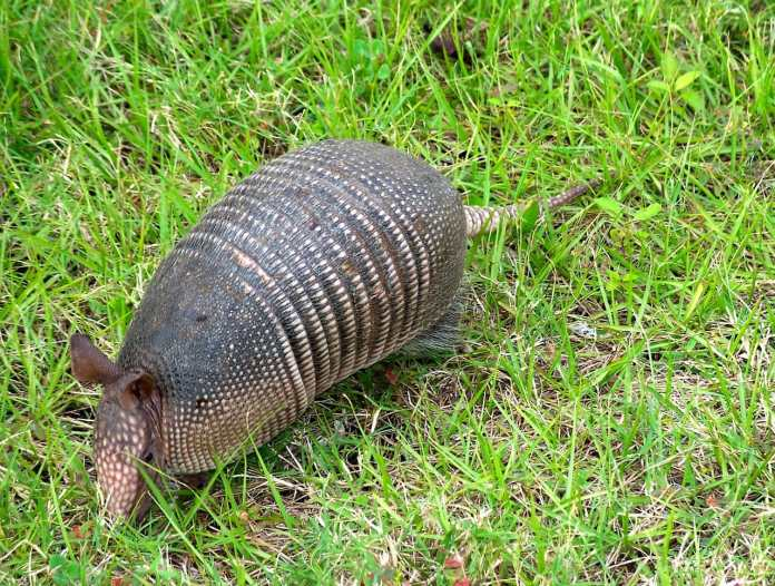 What does armadillo look like?