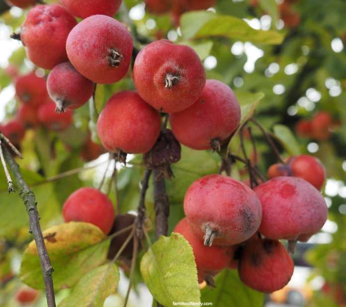 Crabapple fruits