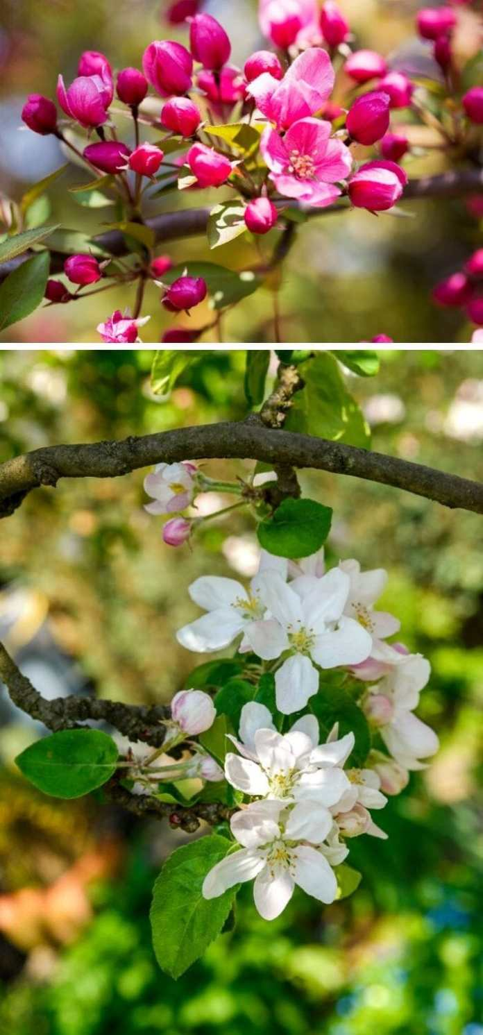 When do crabapple trees bloom?