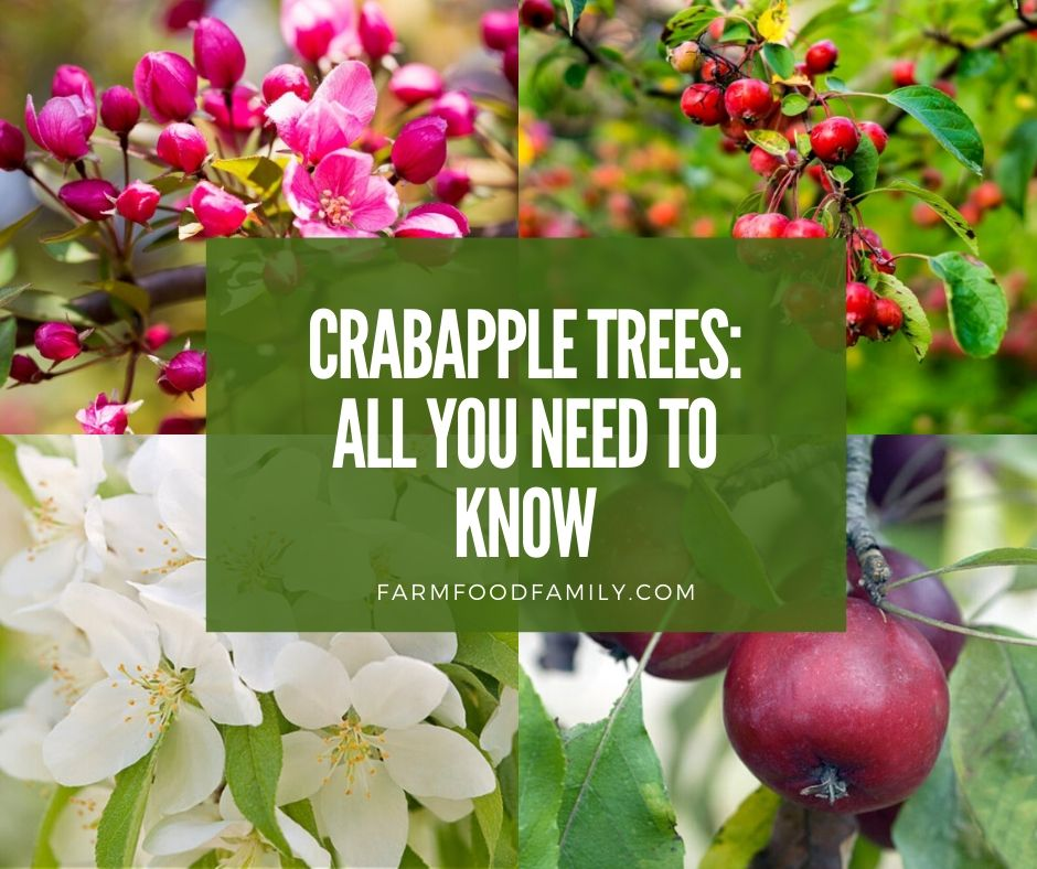 Crabapples: A Detailed Guide (Identification, Types, Fruits, Care)