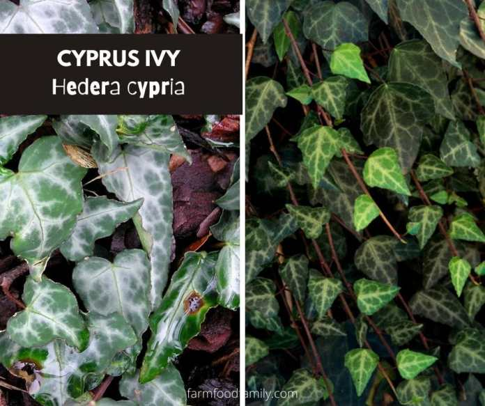 Cyprus ivy (Hedera cypria)