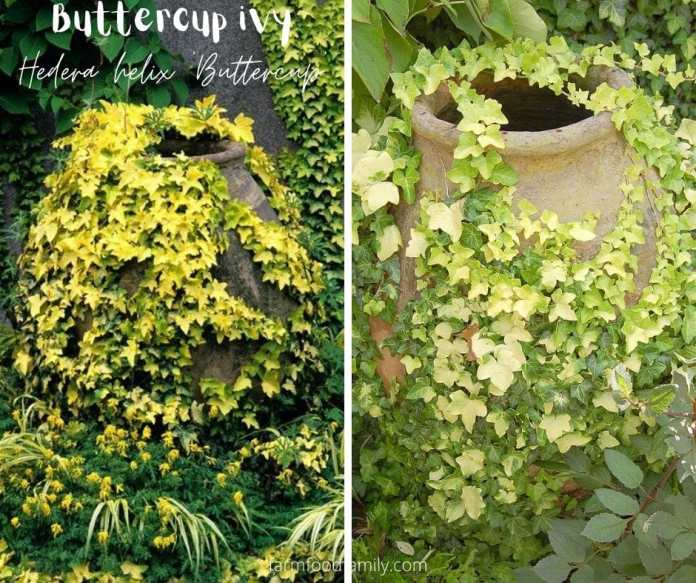 Buttercup ivy (Hedera helix 'Buttercup')