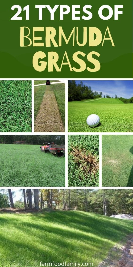 21 types of Bermuda grass with pictures