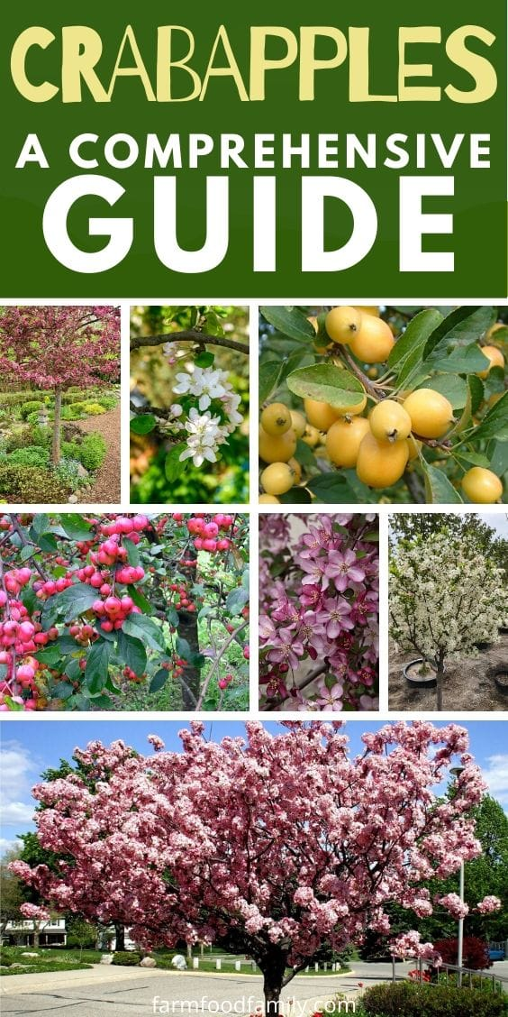 Crabapples: All you need to know (Types, grow, care, uses, recipes, pictures)