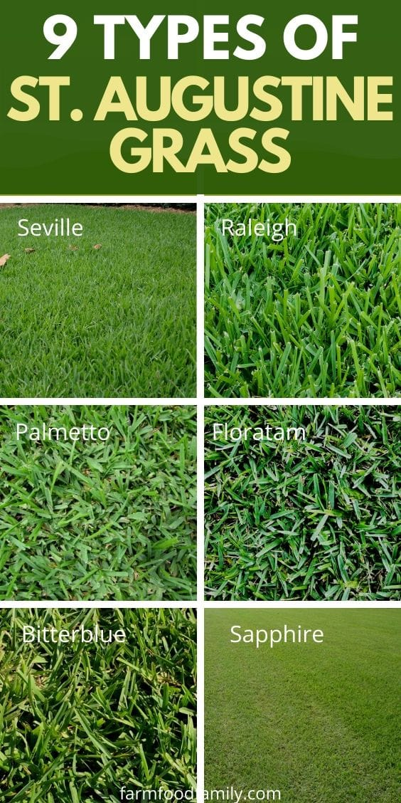 Types of St. Augustine grass and how to grow, problems, diseases