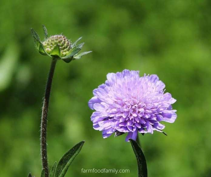 Pincushion Flower (Scabiosa atropurpurea)