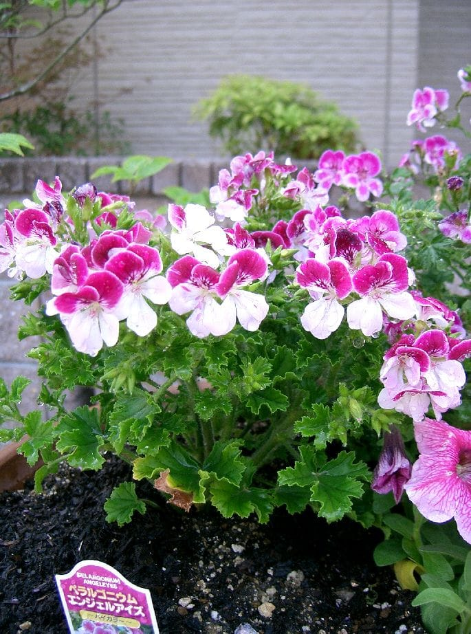Pelargonium (Angel Eyes)
