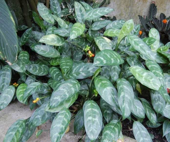 Philippine evergreen (Aglaonema commutatum)