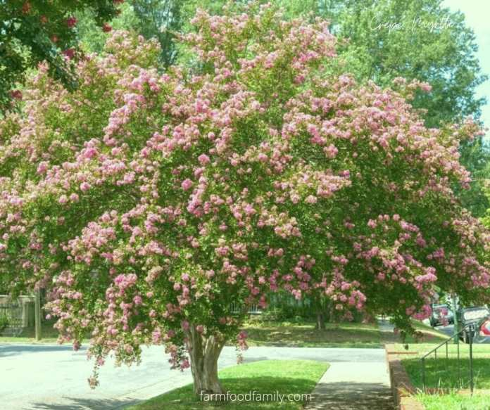 Five Reasons to Grow Crepe Myrtle (Lagerstroemia Indica)