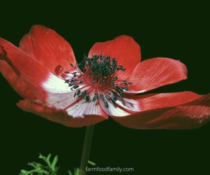 Red anemone flower meaning