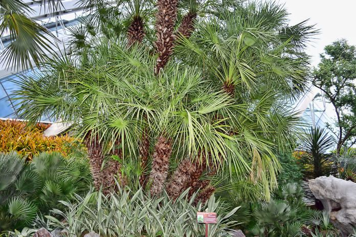 European fan palm (Chamaerops)