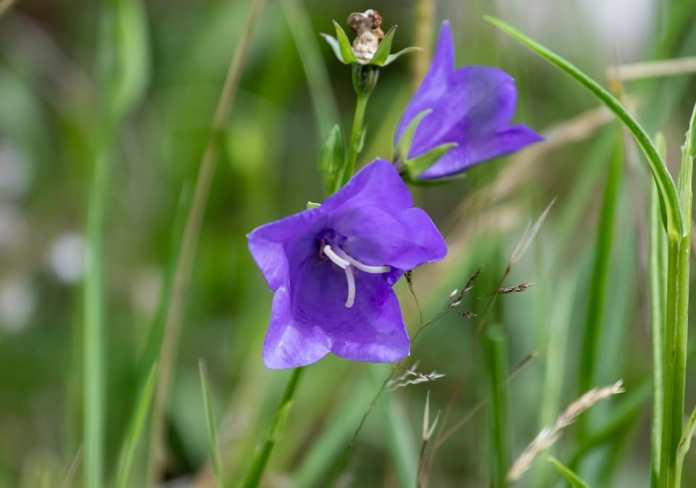 Peach leaved bellflower (Campanula persicifolia)